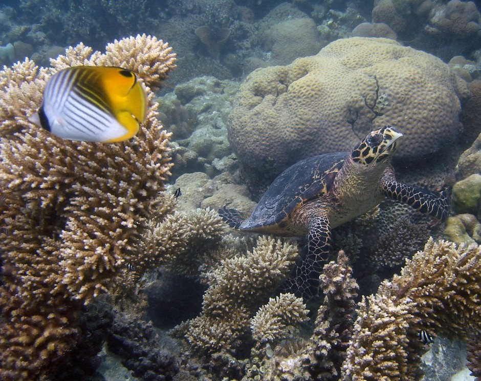 Hawksbill turtle and threadfin butterflyfish in a branching Arcopora garden