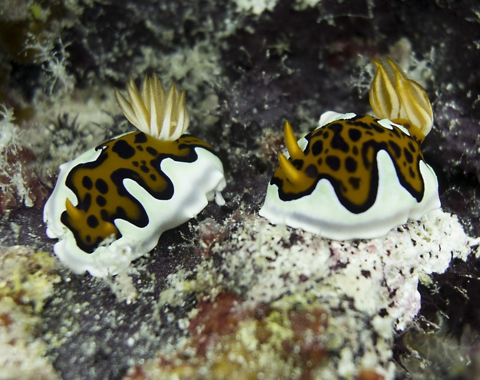 Glenies Chromodoris nudibranch