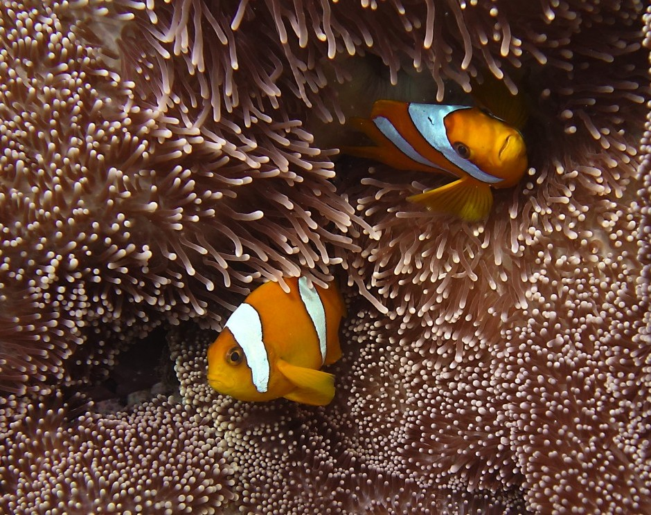 Chagos anemonefish and Merten's anemone