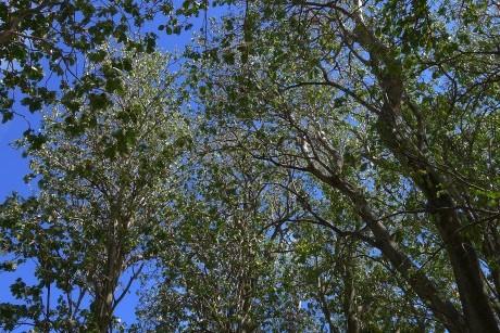 Pisonia trees