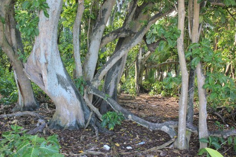 Hardwood Pisonia forest