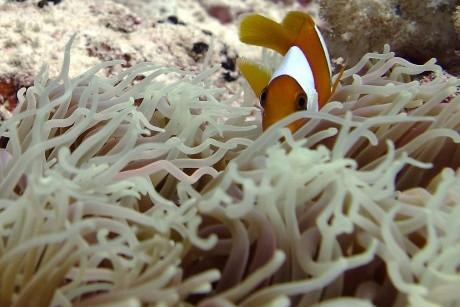 Chagos anemonefish