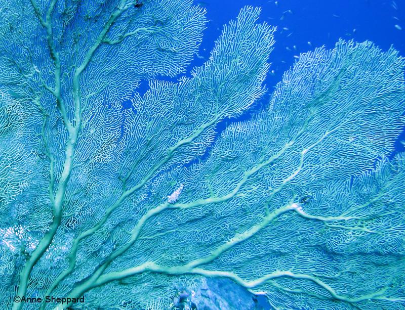 Gorgonian, Middle Island