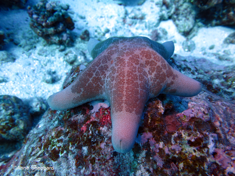 Starfish (Choriaster granulatus), Eagle Island lagoon