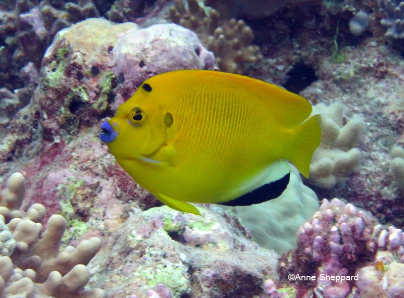 Three spot angelfish (Apolemichthys trimaculatus), Eagle Island lagoon