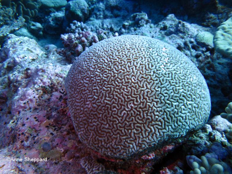 Chagos endemic brain coral (Ctenella chagius), Eagle Island lagoon