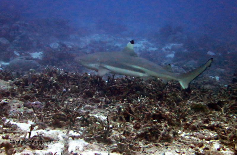 Black tip reef shark (Carcharhinus melanopterus), Eagle Island lagoon