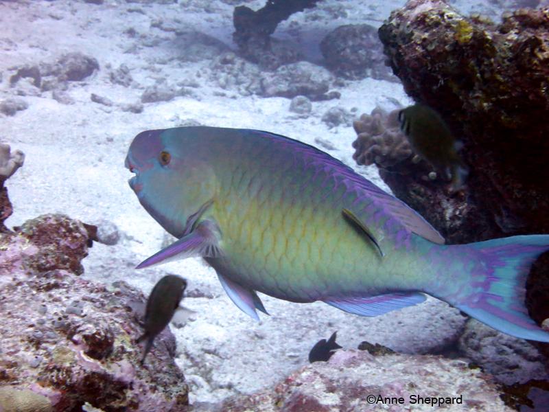 Parrotfish (Scarus sp), Eagle Island lagoon