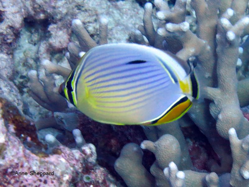 Redfin butterflyfish (Chaetodon trifasciatus), Eagle Island lagoon