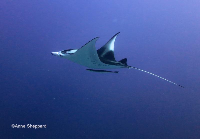 Manta ray, Egmont Atoll