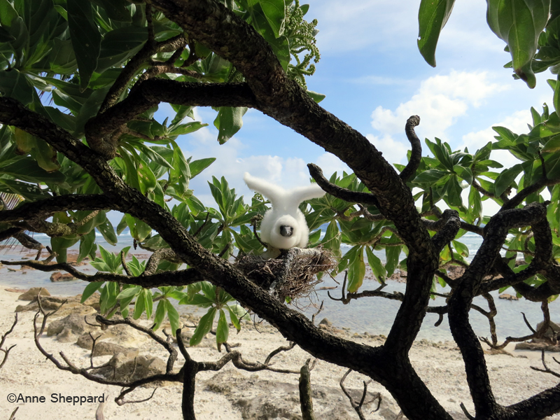 Baby red-footed booby (Sula sula), Middle Brother island