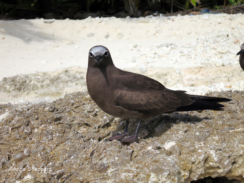 Brown noddy (Anous stolidus), Middle Brother island
