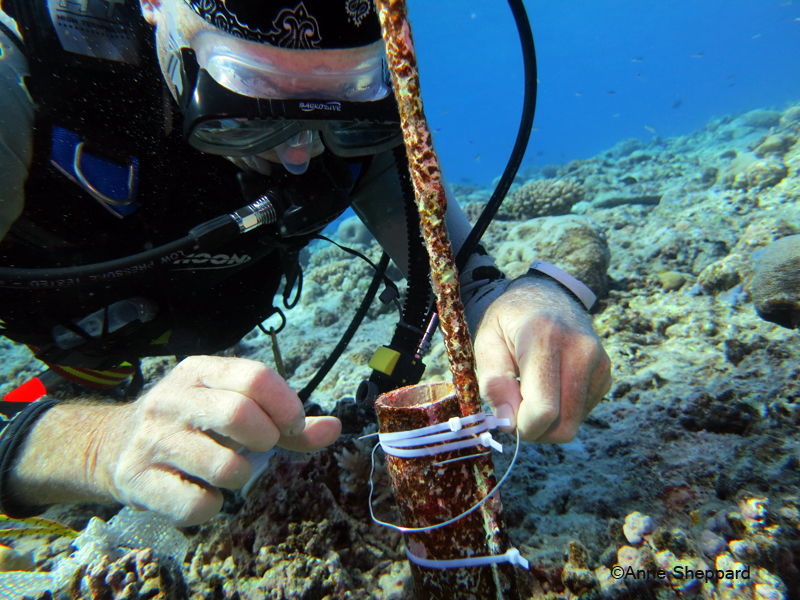 Prof Charles Sheppard changing temperature data logger, Egmont Atoll, 2013 Expedition