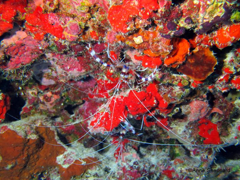 Cleaner shrimp (Stenopus hispidus) in Egmont Atoll