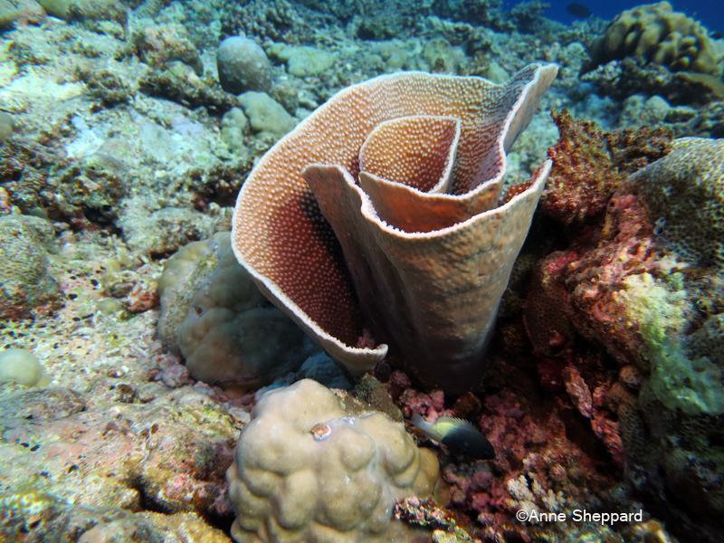 Coral Turbinaria sp, Egmont Atoll