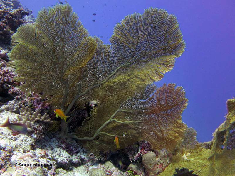 Gorgonians, Egmont Atoll