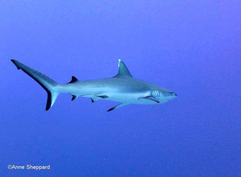 Silvertip shark (Carcharhinus albimarginatus), Egmont Atoll