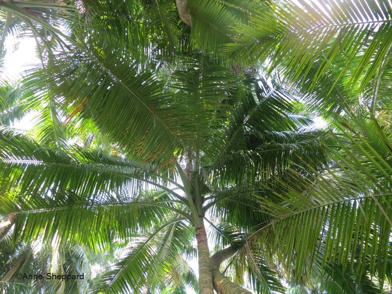 Coconut palms (Cocos nucifera), Middle Brother island