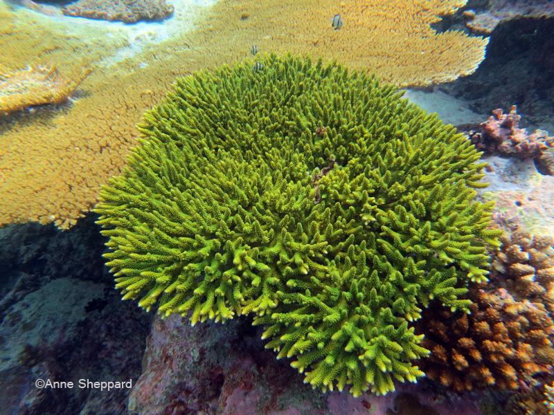 Acropora sp, Nelsons Island
