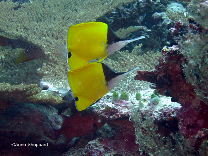 Long nose butterflyfish (Forcipiger flavissimus), Nelsons Island