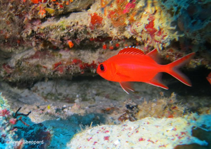 Whitetip soldierfish (Myripristis vittata), Nelsons Island