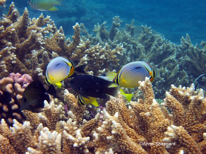 Corals and fish, Peros Banhos Atoll lagoon