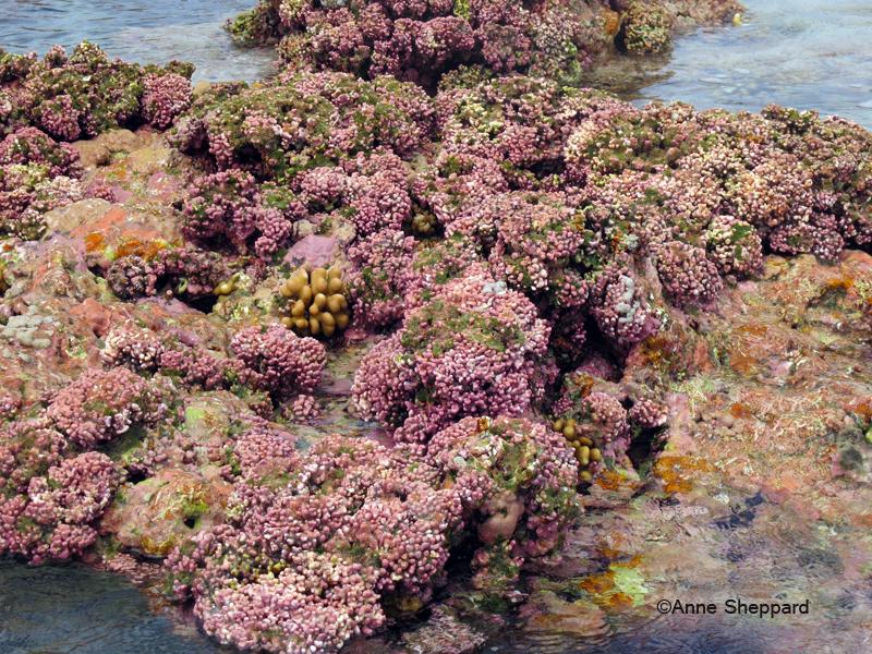 Algal ridge, Peros Banhos Atoll lagoon, Ile Diamant