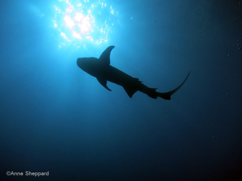 Nurse shark Nebrius ferrugineus in Peros Banhos Atoll