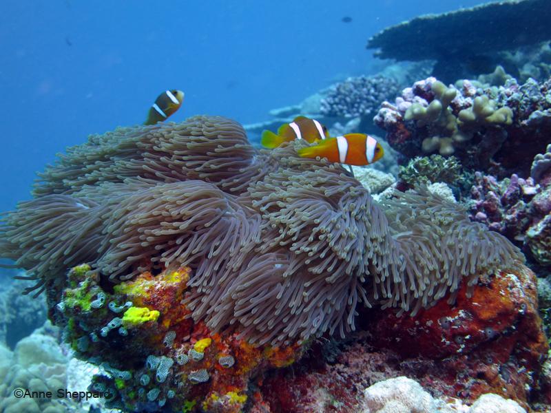 Chagos anemone fish, Peros Banhos Atoll