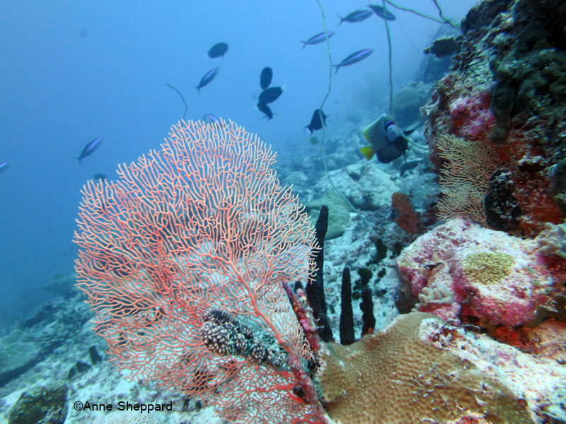 Seafan in Peros Banhos Atoll