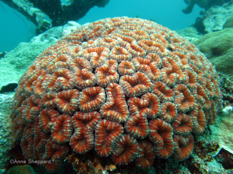 Coral (Lobophyllia sp.), Salomons Atoll lagoon