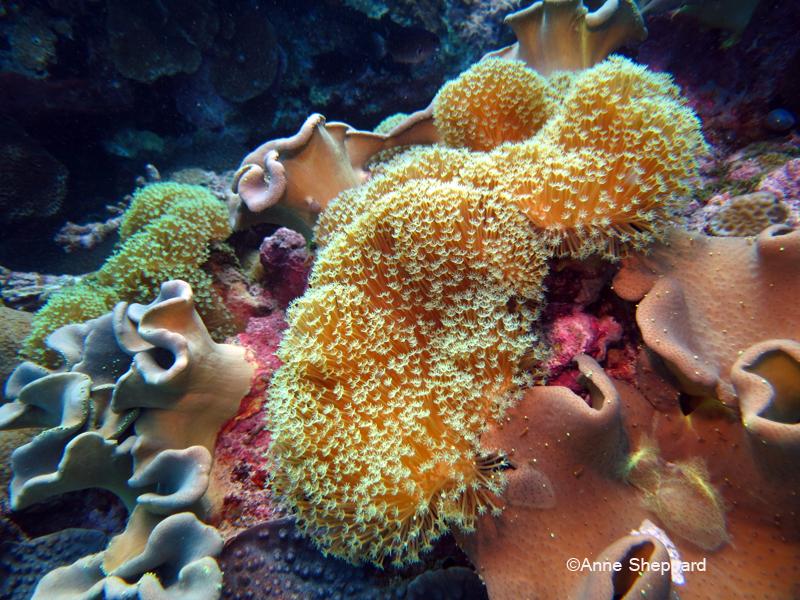 Soft coral, Salomons Atoll lagoon
