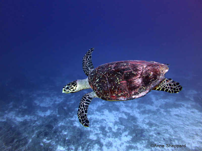 Hawksbill turtle, South Brother Island