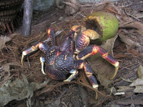 The land crabs of the Chagos Archipelago