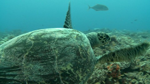 Turtle Research in Chagos: December 2014 update