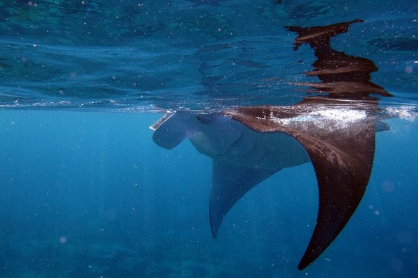 2015 Darwin Science Expedition - Day 16 Manta & Sea Cucumber Survey