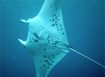 February 2012 Expedition - Day 3 - Manta rays