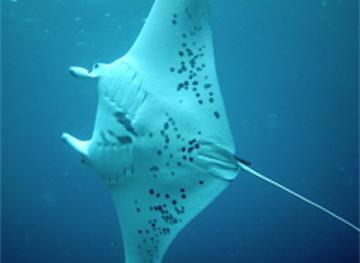 February 2012 Expedition - Day 3 - Manta rays