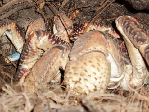 BBC article on Chagos' amazing coconut crabs