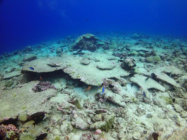 Dead Acropora corals